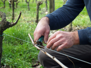 Participate in working in an organic French vineyard