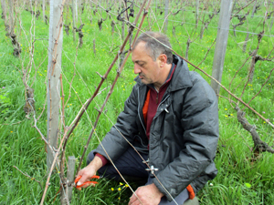Learn how to prune vines with the Gourmet Odyssey Wine Experience