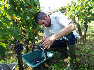 Grape picking experience gift in an organic vineyard in France