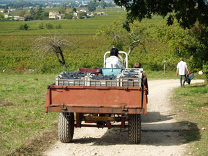 Rent-a-vine in Saint Emilion and get involved in the harvest