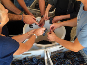 Wine-making experience gift and harvest in Saint-Emilion