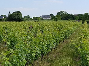 Wine Box with vineyard visit in Chinon, France