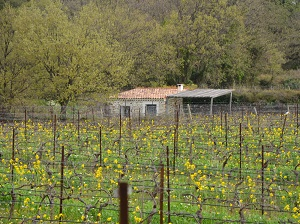 Vine renting and day at the winery in Languedoc,France