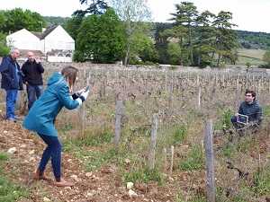 Organic vine adoption in Santenay, Burgundy, France