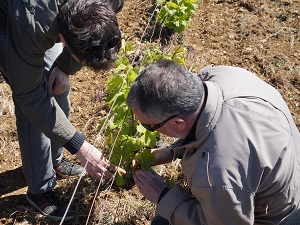 Organic vine tending in Santenay, Burgundy, France