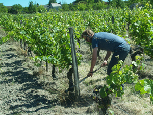 Vine tending course in Chinon, France