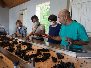 Harvest and grape sorting exprience in an organic winery in France