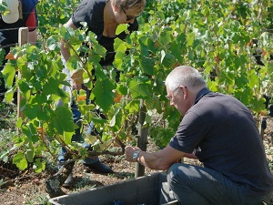 Grapes harvest experience day in Santenay, Burgundy, France