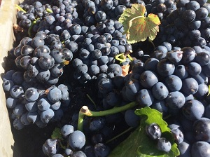 2019 Harvest quality in Santenay Burgundy