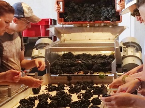 Grape sorting Experience in Burgundy
