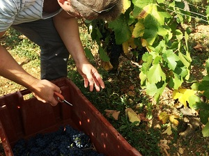 Harvest Experience Day in Burgundy, France