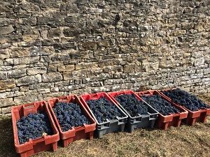Grapes picking experience in Burgundy, France