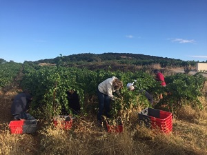 Harvest Day experience in Languedoc, France