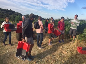 Grape picking experience in Languedoc, France