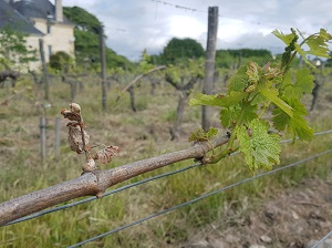 Oenology course on vine tending in a French vineyard