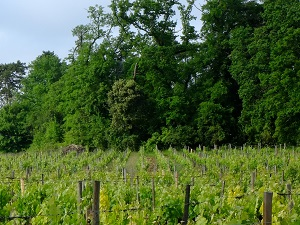 Vine tending course in Saint-Emilion, France