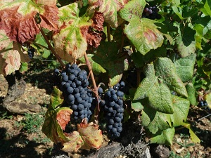 High quality grapes and wine for the 2018 vintage in France