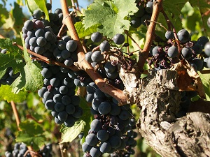 Mildew attacks in the French organic vineyards in 2018