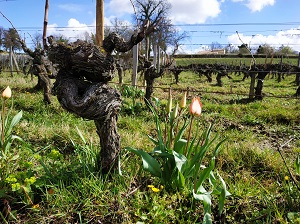 Rare tulips in the vineyard at Chateau Coutet