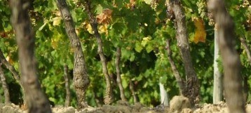 New Introductory Adopt-a-Vine Pack Added to Gourmet Odyssey Wine Experience