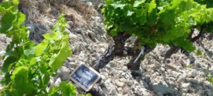 Adopt-a-vine for the 2014 vintage