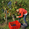 Customer reference, harvest and winemaking gift experience in the Loire Valley, Chinonhablis