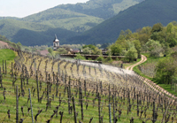 Organic Mother's Day Present.  Rent a vine in Alsace for an original mother's day gift idea.