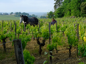 Make your own organic wine in a Grand Cru Classé vineyard