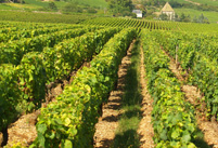 Original wine gift. Rent vines in an organic French Vineyard, Bordeaux, Burgundy, Loire Valley, and the Languedoc